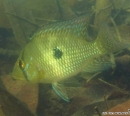巴西珠母麗魚 Geophagus brasiliensis