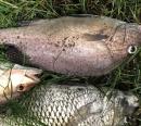今個細鱗季部分魚獲